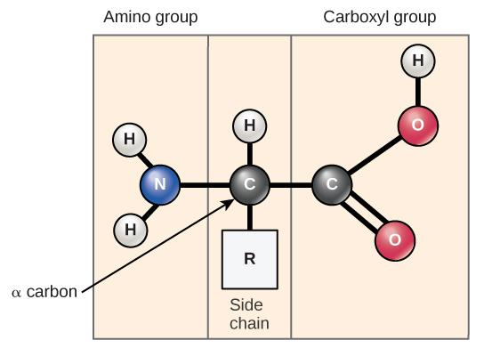 amino-acids