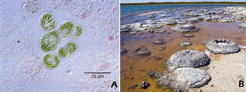 cyanobacteria-stromatolites