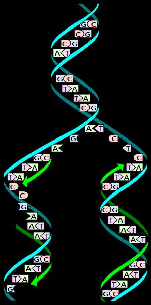 dna-replication-wiki