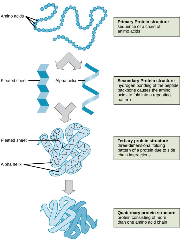 levels-of-protein-structure