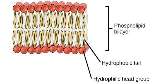Steroids hydrophobic bp pharma steroids