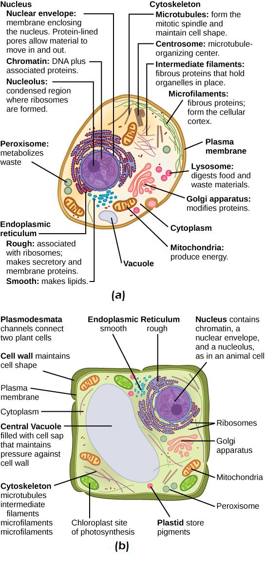 Eukaryotic Cells | Bio...