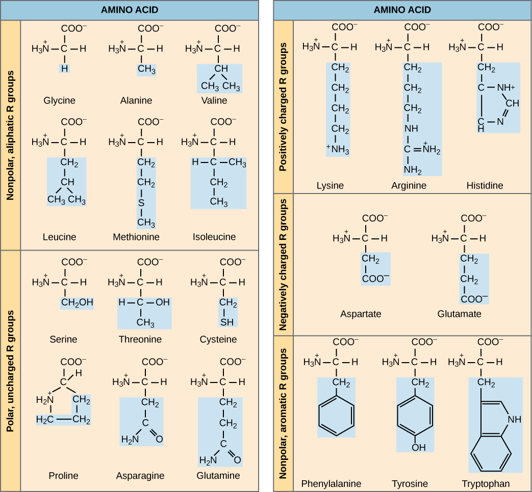 protein-amino-acids