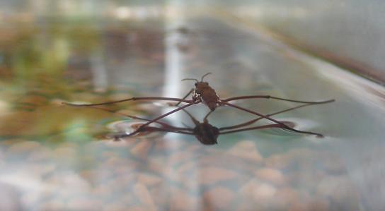 water-strider