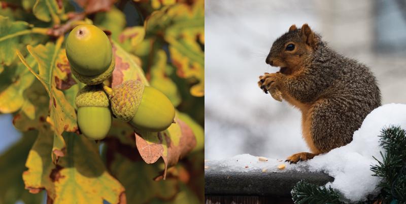acorn-and-squirrel