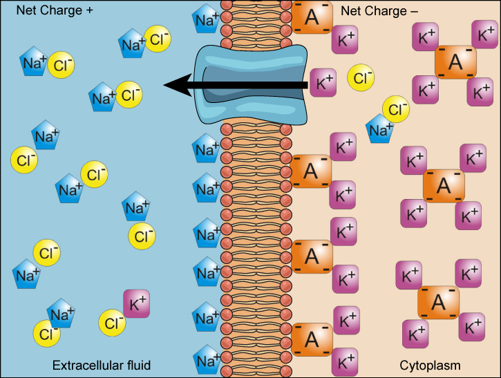 electrochemical-gradient
