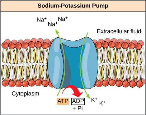 ATP as an Energy Source