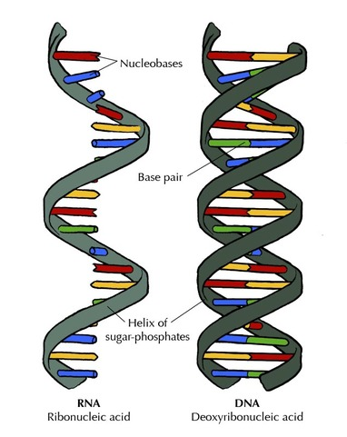 Nucleic Acids Organic Compounds Introducing The Chemistry Of Life