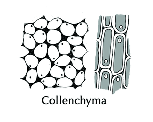 collenchyma tissue biology 103 plant and animal tissues