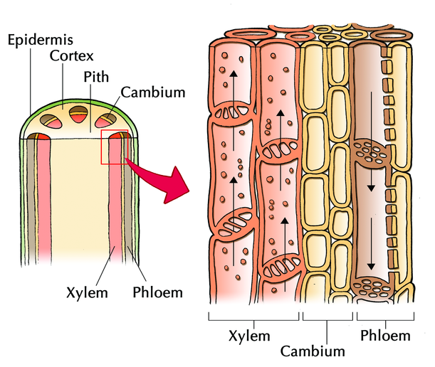 diagram xylem and phloem gallery
