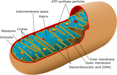 mitochondrion-diagram