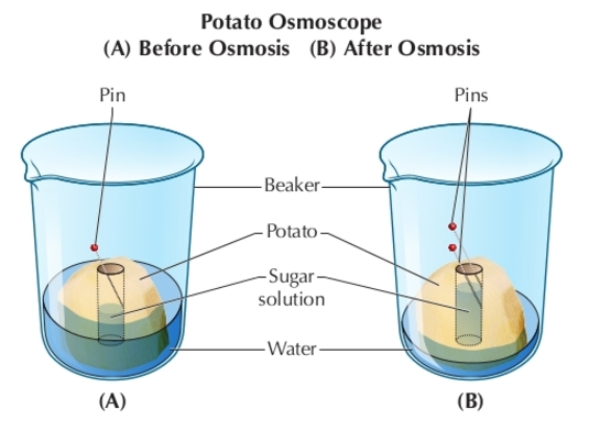observing osmosis