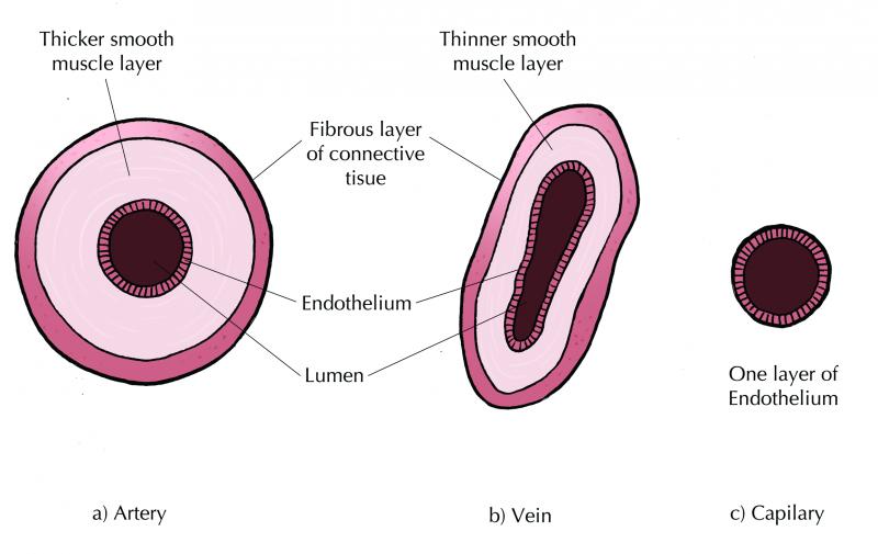 comparison between arteries, veins and capillaries