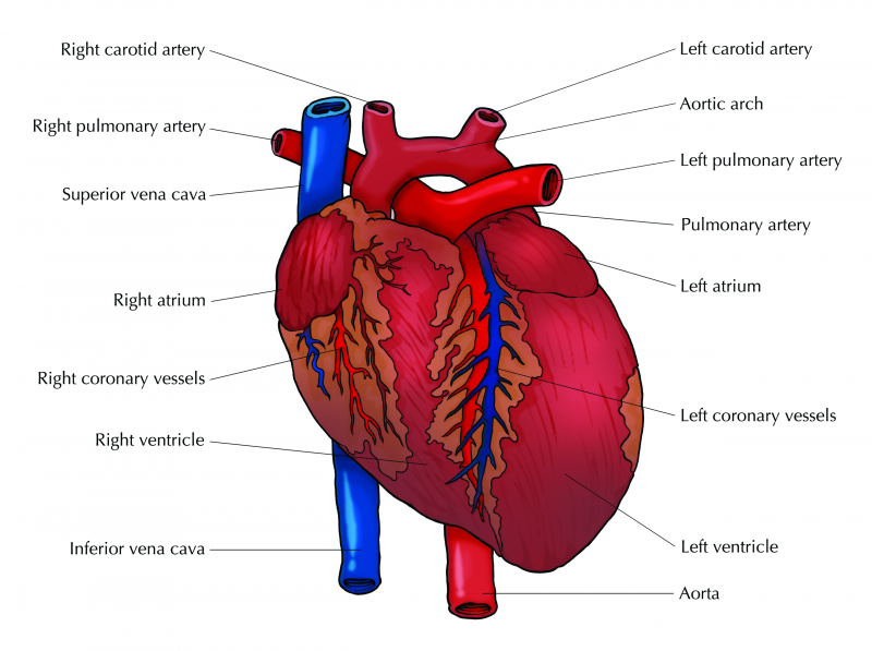 The Heart and Associated Blood Vessels