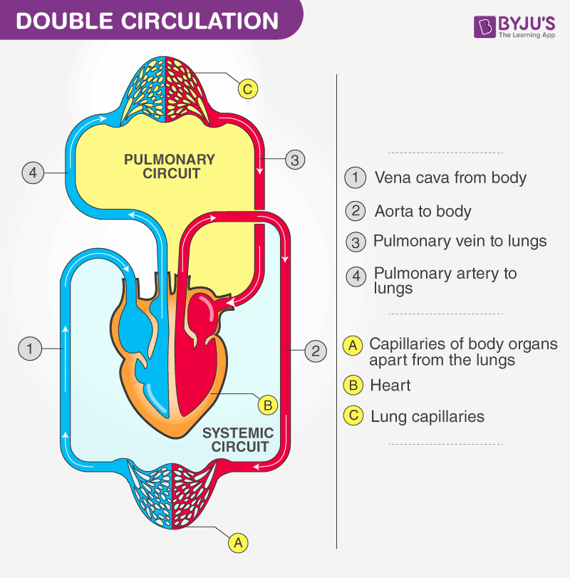 Single and Double Circulation Systems