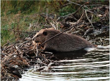beaver-building-dam