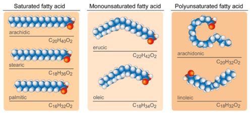 Structures of saturated and unsaturated fatty acids
