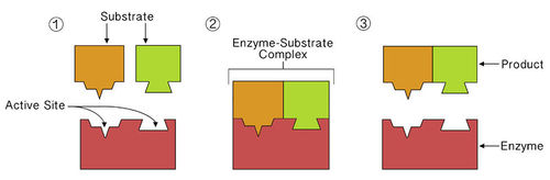 Enzyme binding reactant at active site