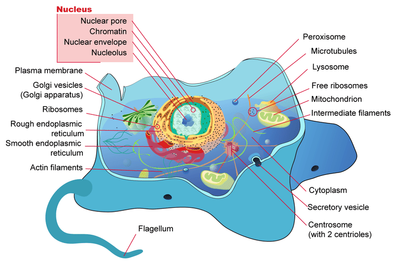 A diagram of the parts of a typical eukaryotic cell