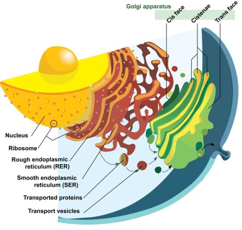 Nucleus, endoplasmic reticulum, and Golgi apparatus