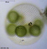 Volvox algae colony