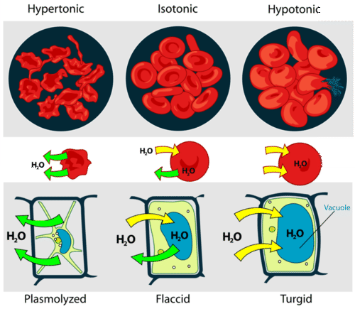 illustrates how animal and plant cells change in different solution types