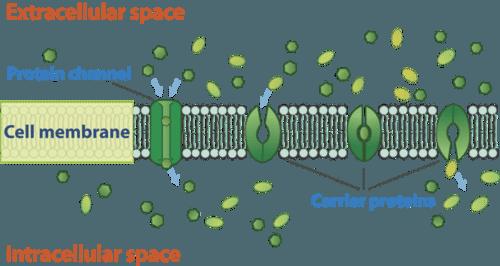 Facilitated diffusion through the cell membrane