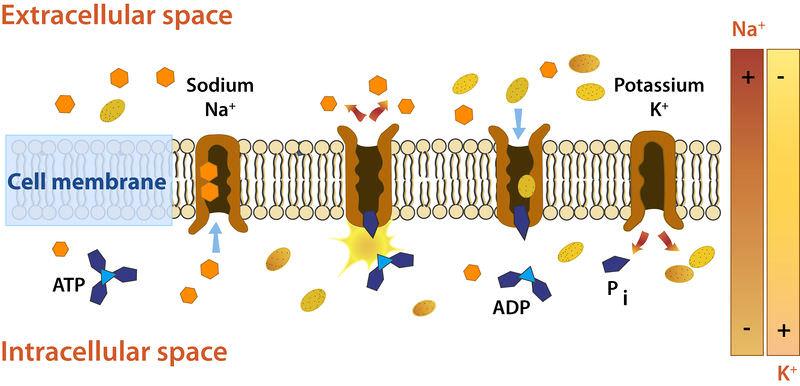 How a sodium-potassium pump work