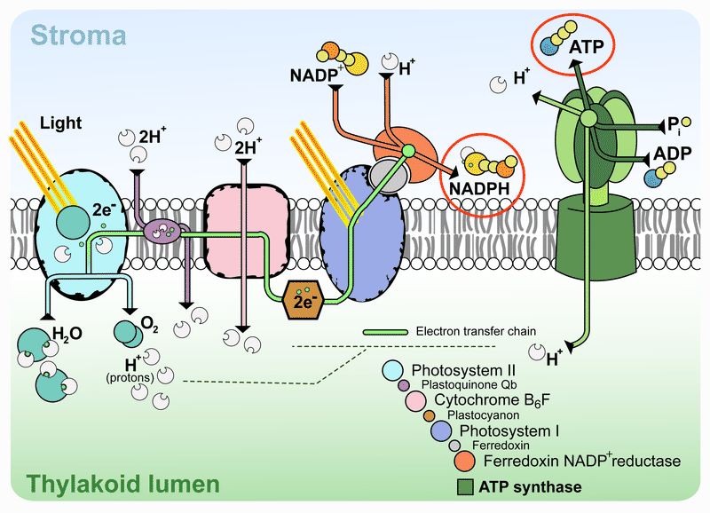 The light reactions of photosynthesis