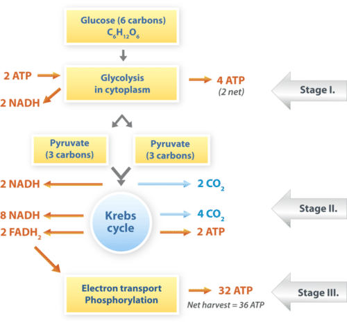 Summarizes the stages of cellular respiration starting from a molecule of glucose