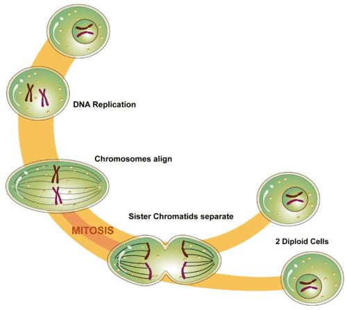 Process of mitosis