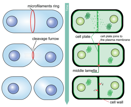 Cytokinesis is the final stage of mitosis