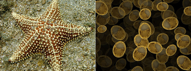 Starfish and yeasts are examples of organisms that reproduce asexually
