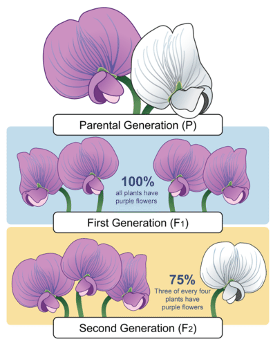 Parental, F1, and F2 generations of peas