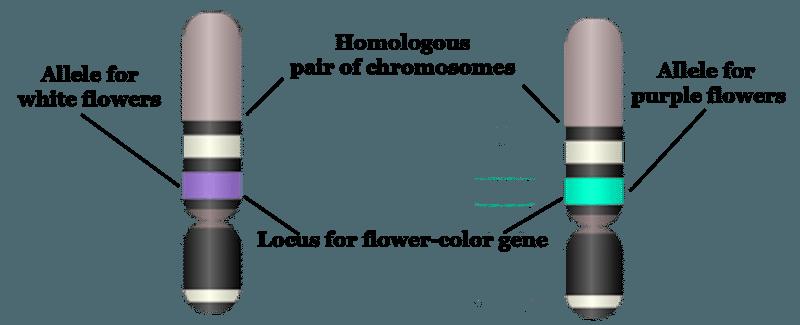Chromosome, Gene, Locus, Allele