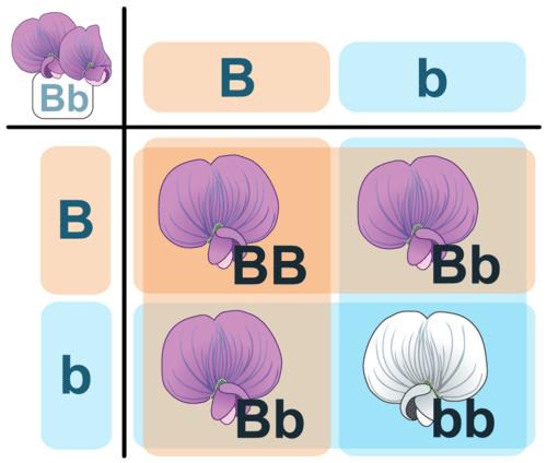 Punnett square cross between two heterozygotes