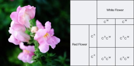Pink petals of a flower due to incomplete dominance