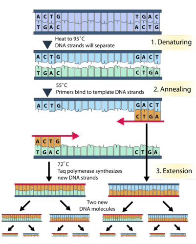 Polymerase chain reaction process