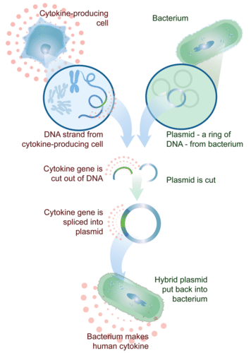 Genetically engineering bacteria to produce a human protein, a cytokine