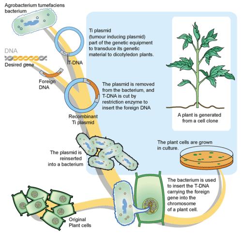 Creating a transgenic crop