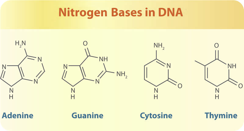 Shows the four nitrogen bases that make up the DNA of all species