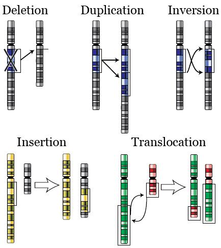 Chromosomal alterations: deletion, duplication, inversion, insertion, translocation