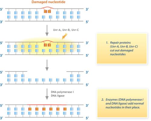 DNA repair pathway