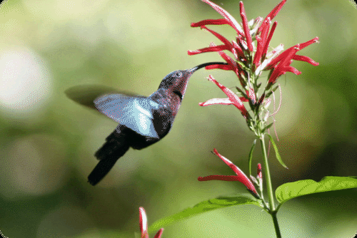 Coevolution of a hummingbird and a flower
