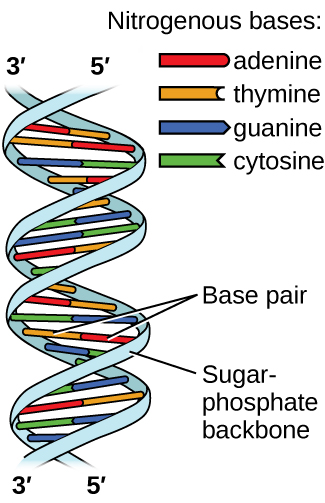 Hydrogen bonding and dna intermolecular forces liquids and solids hydrogen bonding and dna ccuart Images