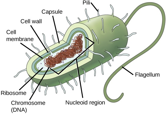 The illustration shows a prokaryotic cell with a single, circular chromosome floating free in the cytoplasm.