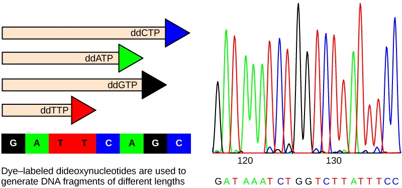 Part A shows a template DNA strand and newly synthesized strands that were generated in the presence of dideoxynucleotides that terminate the chain at different points to generate fragments of different sizes. Each dideoxynucleotide is labeled a different color. Part B shows a sequence readout that was generated after the DNA fragments were separated on the basis of size. The color of the fragment indicates the identity of the nucleotide at the end of a given fragment. By reading the colors in order, the DNA sequence can be determined.