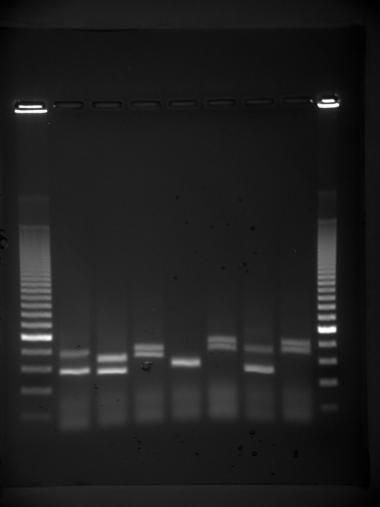 Photo shows an agarose gel illuminated under UV light. The gel is nine lanes across. Each lane was loaded with a sample containing DNA fragments of differing size that have separated as they travel through the gel, from top to bottom. The DNA appears as thin, white bands on a black background. Lanes one and nine contain many bands from a DNA standard. These bands are closely spaced toward the top, and spaced farther apart further down the gel. Lanes two through eight contain one or two bands each. Some of these bands are identical in size and run the same distance into the gel. Others run a slightly different distance, indicating a small difference in size.