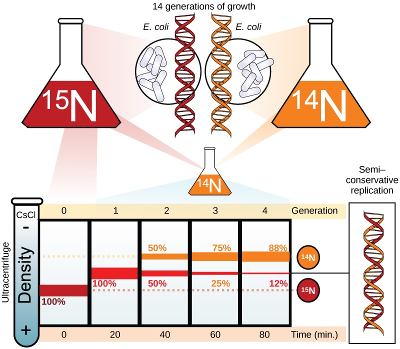 Illustration shows an experiment in which E. coli was grown initially in media containing ^{15}N nucleotides. When the DNA was extracted and run in an ultracentrifuge, a band of DNA appeared low in the tube. The culture was next placed in ^{14}N medium. After one generation, all of the DNA appeared in the middle of the tube, indicating that the DNA was a mixture of half ^{14}N and half ^{15}N DNA. After two generations, half of the DNA appeared in the middle of the tube, and half appeared higher up, indicating that half the DNA contained 50% ^{15}N, and half contained ^{14}N only. In subsequent generations, more and more of the DNA appeared in the upper, ^{14}N band.