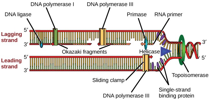 """Illustration shows the replication fork. Helicase unwinds the helix, and single-strand binding proteins prevent the helix from re-forming. Topoisomerase prevents the DNA from getting too tightly coiled ahead of the replication fork. DNA primase forms an RNA primer, and DNA polymerase extends the DNA strand from the RNA primer. DNA synthesis occurs only in the 5' to 3' direction. On the leading strand, DNA synthesis occurs continuously. On the lagging strand, DNA synthesis restarts many times as the helix unwinds, resulting in many short fragments called """"Okazaki fragments."""" DNA ligase joins the Okazaki fragments together into a single DNA molecule."""